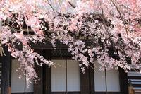 蓮生寺の枝垂れ桜・2♪ - happy-cafe*vol.2