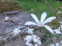 春の白色 - アオモジノキモチ