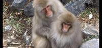 地獄谷の温泉に入る猿  その3  - 昭和薬局ブログ