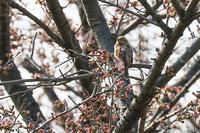 こんどは桜の花の中に埋もれ、、、探すの大変だったアリスイです。 - takiのカメラ散歩~☆