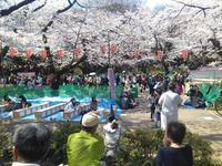 こちらは満開@上野公園 - ハンちゃん Goes On!!