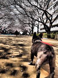 近所の桜 その3 - ichibey日々の記録