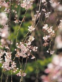 三春滝桜 - Y*s ROOM