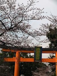 平野神社・京都御所・本満寺の 桜 - 舞ときらりと琴