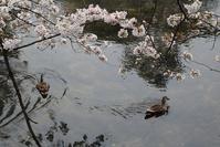 夙川の桜と貨物列車写真①やっと厳しい冬が終わり春が来ました・・・夙川公園のさくらが綺麗に咲きました - 藤田八束の日記