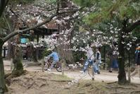 夙川の桜と貨物列車④貨物列車「桃太郎」写真・・・・さくら夙川公園にて - 藤田八束の日記