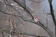 河川林のベニマシコ - 瑞穂の国の野鳥たち