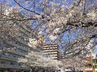 桜を巡るお散歩(南浦和~浦和~中浦和~武蔵浦和) - so much Life