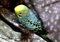 写真 - SILK BIRD WORLD from JAPAN~愛情込めて育てた小鳥をあなたの家族の一員へ