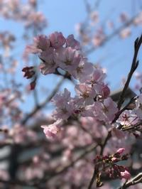 横浜の桜の名所 大岡川でお花見♪ - 横浜・フランス&世界旅の料理教室 ~うららの味な旅 味な日々~
