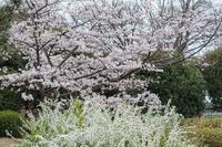 桜はまだ早かった - ナンちゃんの天然色写真&白黒写真