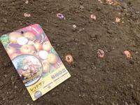 植え付けと種蒔きに勤しむ - 家庭サイエニストabuさん家の美味あれこれ