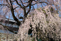 桜 - 写真家 海老原 勇人