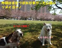 桜とリハビリとお留守番と・・・ - もももの部屋(家族を待っている保護犬たちと我家の愛犬のブログです)