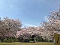 ●柳瀬川回廊は花見日和 - 太陽と大地のエクボ3