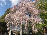 ■近所の枝垂れ桜 - ALOHAs☆Diary