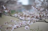 2017年 桜 - 絵で見るカメラ + plus