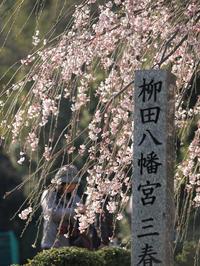 柳田八幡宮 三春滝桜 - 風まかせ、カメラまかせ