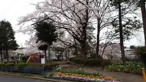 桜だより2017 - アンのように生きる・・・(老育)