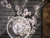 桜満開 - ダイドコ帖