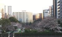 会社の窓から桜が見える - もるとゆらじお