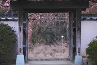 しだれ桜 長栄寺 浜松市花川 - 笑顔が一番