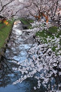 川越 新河岸川の桜並木 誉桜 1 - photograph3