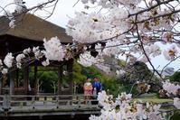 浮見堂の桜@2017-04-06 - (新)トラちゃん&ちー・明日葉 観察日記