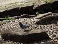 ヤマガラ、ドバト、黒川清流公園 - 西多摩探鳥散歩