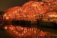 夜桜 - WHOPPER(^^♪