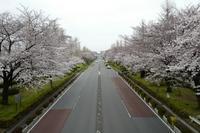 谷保から国立 満開の桜 - M8とR-D1写真日記
