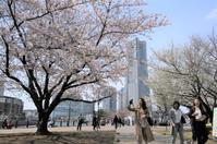 ハマの春 ☆sacra - 夢・ファンダンゴ