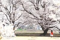 天平の丘公園の桜 ~淡墨桜*~ - ココロハレ*