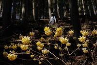 2017.4.4 神奈川県・丹沢 ミツバ岳 ミツマタ   2017.4.8 (記) - たかがヤマト、されどヤマト