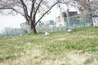 桜と鳩 - カメラとさんぽ