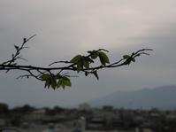 ベランダのエノキ - 呑むさん蝶日記
