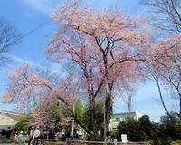 仁叟寺の五輪桜 - 星の小父さまフォトつづり