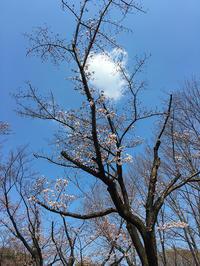 ポッカリ雲と桜 - 彩りの軌跡