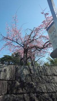 垂れ桜 - (まめ)たぬきの雑記