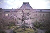 「京都府庁旧本館の桜」 - hal@kyoto
