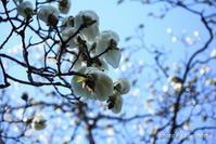 春の訪れ 白モクレン - 「古都」大津 湖国から