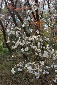 コブシ - お花びより