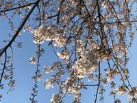 お花見 - ♪♪お散歩♪♪