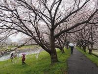 雨の日の桜並木 - あそびをせんとや ~あそびっこ~