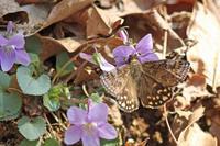 ギフチョウの里 - 蝶のいる風景blog
