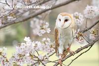 メンフクロウ ミリンちゃん~お花見♪~ - メンフクロウと一緒~ミリン~