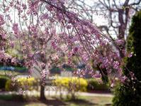 170407近所の桜 - 一人の読者との対話