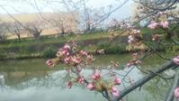 桜はまにあうかなぁ? - 仁勢物語