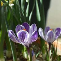 クロッカス - kukka kukka