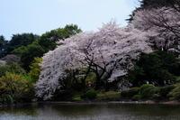 新宿御苑の桜と、ヒトカゲ - ナオの*毎日が宝石箱*